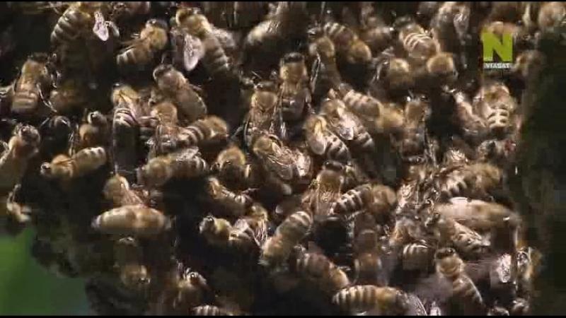 Дикая природа Европы. Насекомые в опасности. Гибель медоносных пчёл.