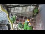 Конголезские_попугаи_Wilco Scheepbouwer