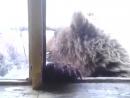 Медведь лезет в окно домика с людьмиЛама, Норильск, февраль 2017 360