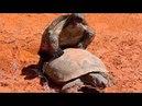 Desert Tortoises Mating.m4v