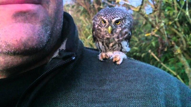 Sparvuggla (Eurasian Pygmy Owl, Glaucidium passerinum)