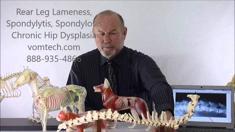 Хромота тазовых конечностей мануальная и лазеротерапия Rear Leg Lameness Spondylitis Spondylosis Chronic Hip Dysplasia Degenerative Myelopathy HB