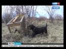 Контактная притравка охотничьих собак - неоправданная жестокость или необходимая тренировка?