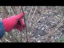Как обрезать смородину Обрезка смородины осенью весной