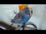 Говорящий попугай Кеша говорит смешно и красиво 2017