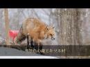 雪景色の蔵王キツネ村 CANON 5D MarkⅢ Zhiyun Crane 2