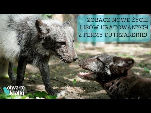 Trzy piękne lisy uratowane z fermy futrzarskiej: Basia, Plama, Śliczna