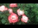 Чайно гибридная роза Ностальжи Nоstalgie от Tantau Германия