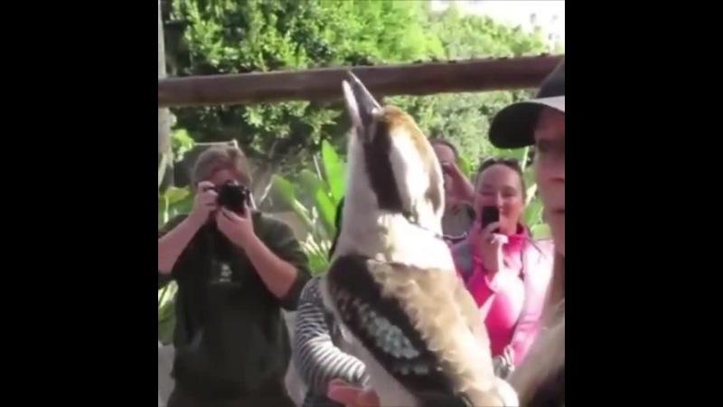 Kookaburras · coub, коуб