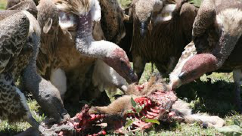 National Geographic Documentary - BEST AFRICAN VULTURES - BBC Discovery Planet Animals