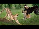 Chita lutando com
