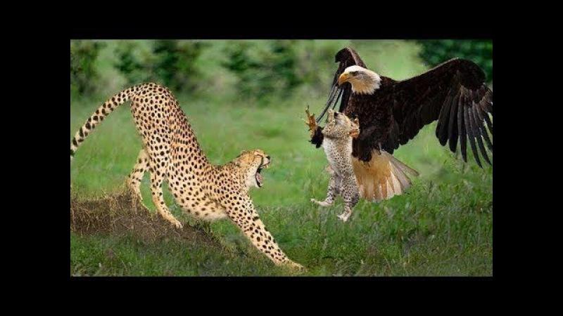Chita lutando com águia para salvar filhote - Leão salva filhote e macaco de leopardo