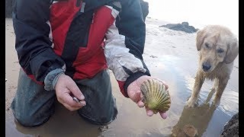 Delicious wild scallops and clams foraged and cooked after storm Eleanor,with Craig Evans