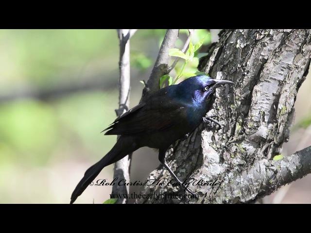 Common grackle / Обыкновенный гракл / Quiscalus quiscula