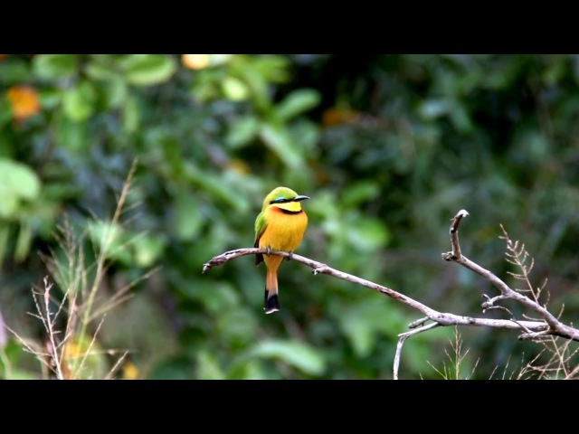 Little Bee-eater Карликовая щурка Merops pusillus