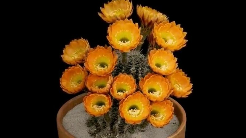Вот как цветет кактус