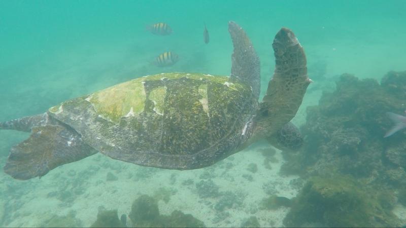 Морская черепаха и иглокожая рыба о. Изабела