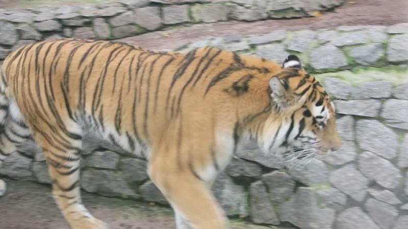 Красавец тигр в вольере