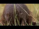 Приключения стаи мангустов