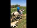 Казахский жеребец Белый матовый