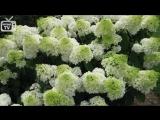 Гортензия метельчатая 🌟 ТОП-10 самых красивых сортов Хитсад