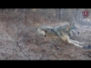 Спасение диких животных попавших в ловушку