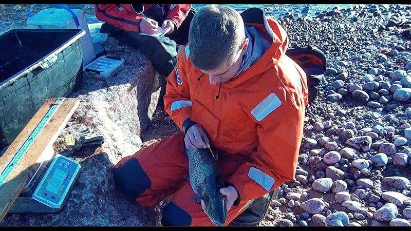Отлов и мечение кумжи на Финском заливе ГосНИИОРХ Salmon Protection