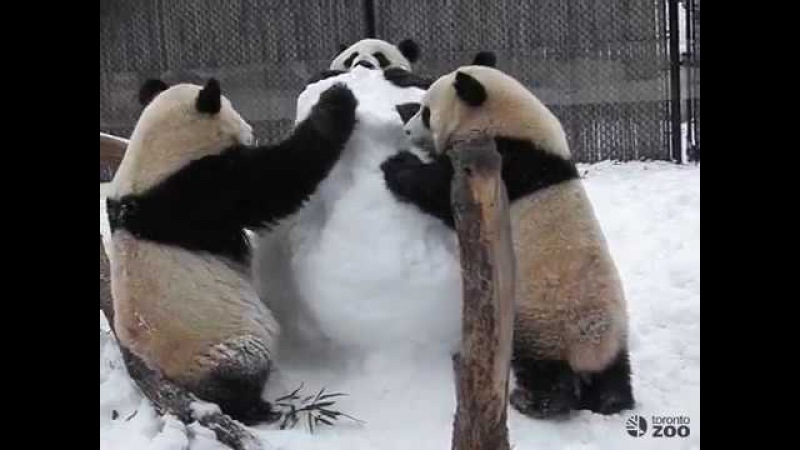Toronto Zoo Panda Family Plays With Snowman