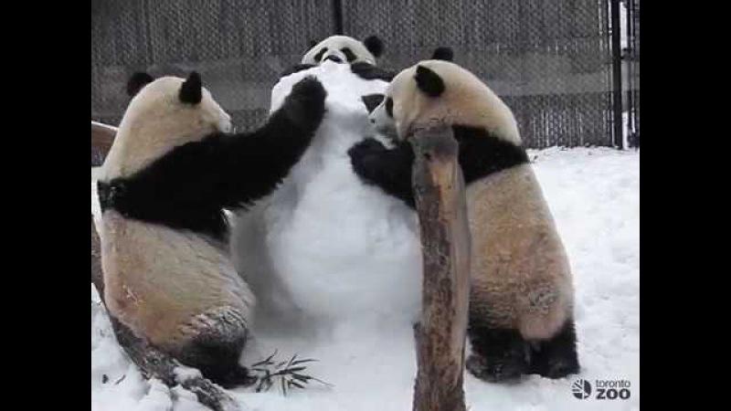 Toronto Zoo Panda Family Plays With Snowman
