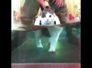 31-pound fat cat does underwater treadmill workout 