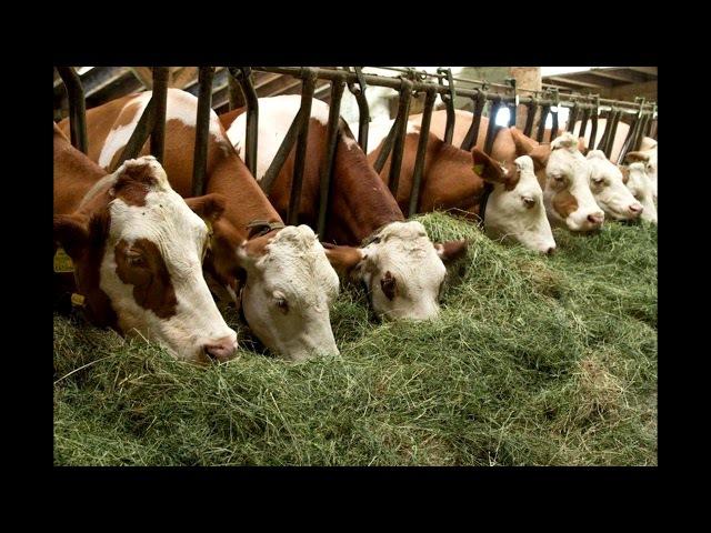 Откорм бычков на мясо. 5 секретов о которых вы не знали.