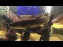 Amia Calva Bowfin in Aquarium