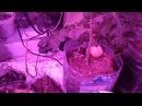 Выращивание помидор в домашних условиях. Советую посмотреть это видео!