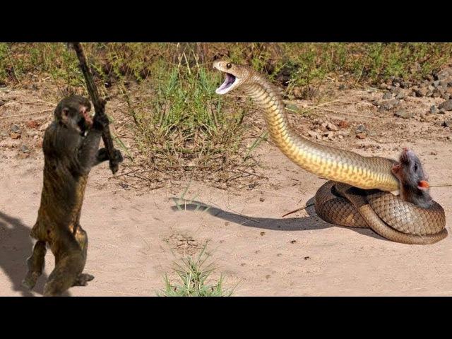 Kinh Ngạc ! Vua Khỉ đại chiến Rắn Hổ Mang đánh Trăn khổng lồ bắt trộm Dê