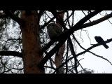 Совенок в Академгородке (Красноярск)+черный дятел