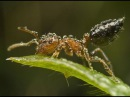 BBC планета муравьев