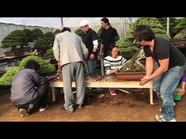 """""""Repot"""" at Kimura's bonsai garden."""