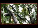 Narilatha Árbol que da frutos en forma de mujer