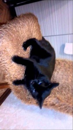 Кошка злая гафкает и шипит