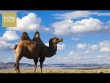 Вот как это происходит у дуньхуанских верблюдов