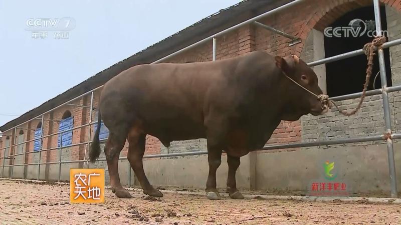 Красные быки Писянь, или мраморное мясо провинции Хэнань。
