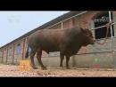 Красные быки ''Писянь'', или мраморное мясо провинции Хэнань。