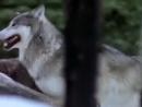 Волчья стая Жизнь с волками Документальный фильм
