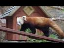 Красные панды радуются солнцу