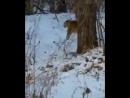 Дальневосточный леопард показался водителям, проезжавшим вдоль границ нацпарка в Приморье.