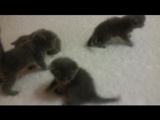 Продам котят скотиш-страйт(шотландские прямоухие) мальчики,родились  г.Курахово Донецкая обл