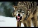 Схватка лося и волка на озере » Триникси