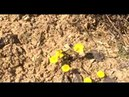 Сбор пчёлами, нектара и пыльцы с мать-и-мачехи. Весна 2018.