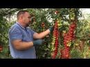Как вырастить томаты черри Секреты возделывания