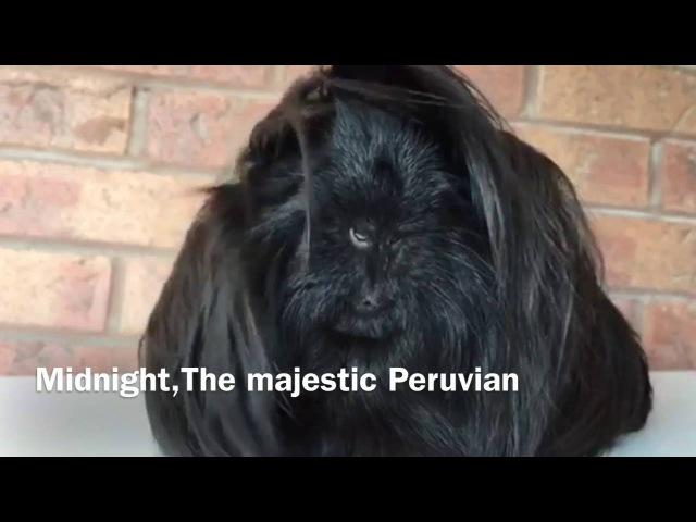 Midnight, The Majestic Peruvian Guinea Pig